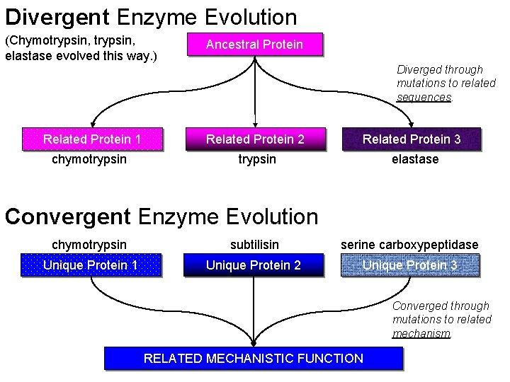 Divergent Enzyme Evolution (Chymotrypsin, elastase evolved this way. ) Ancestral Protein Diverged through mutations