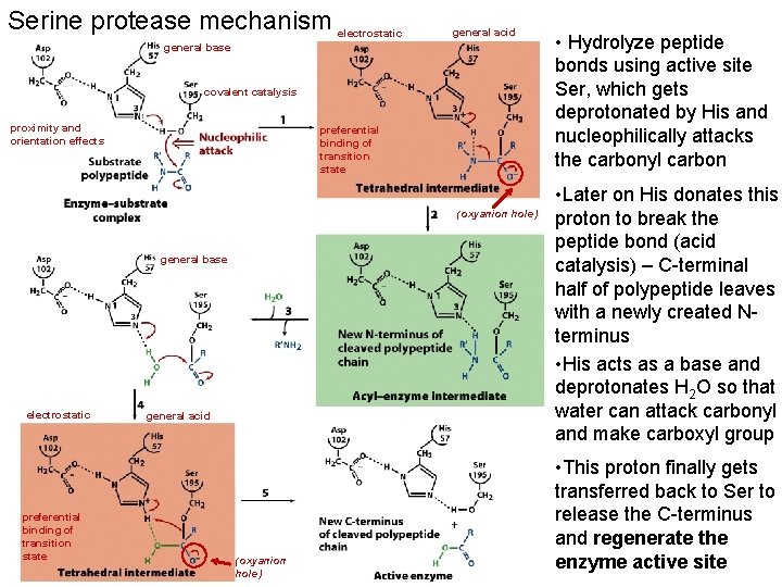 Serine protease mechanism electrostatic general acid general base covalent catalysis proximity and orientation effects