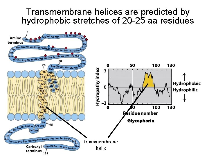 Transmembrane helices are predicted by hydrophobic stretches of 20 -25 aa residues transmembrane helix