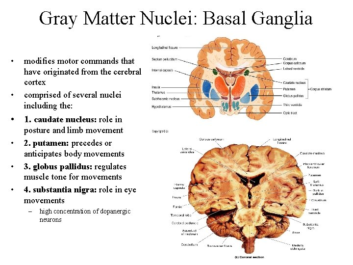 Gray Matter Nuclei: Basal Ganglia • • modifies motor commands that have originated from