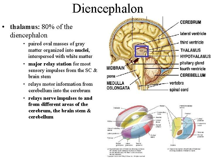 Diencephalon • thalamus: 80% of the diencephalon • paired oval masses of gray matter