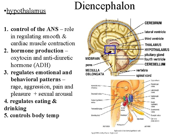 • hypothalamus Diencephalon 1. control of the ANS – role in regulating smooth