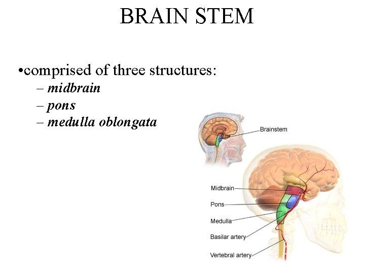 BRAIN STEM • comprised of three structures: – midbrain – pons – medulla oblongata