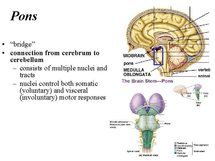 "Pons • ""bridge"" • connection from cerebrum to cerebellum – consists of multiple nuclei"