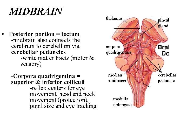 MIDBRAIN • Posterior portion = tectum -midbrain also connects the cerebrum to cerebellum via