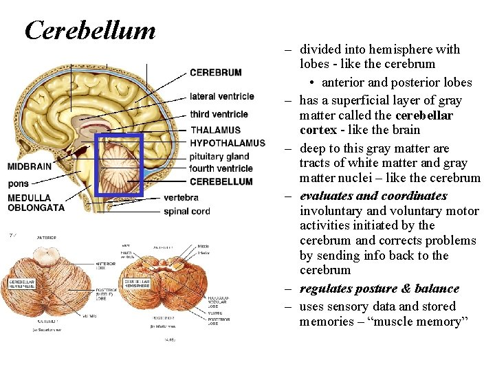 Cerebellum – divided into hemisphere with lobes - like the cerebrum • anterior and