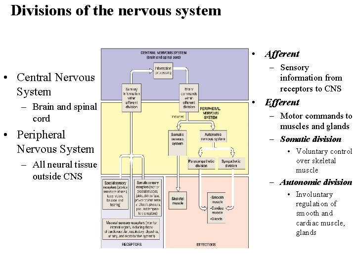 Divisions of the nervous system • Afferent • Central Nervous System – Brain and