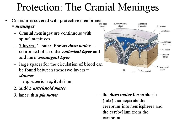 Protection: The Cranial Meninges • Cranium is covered with protective membranes = meninges –