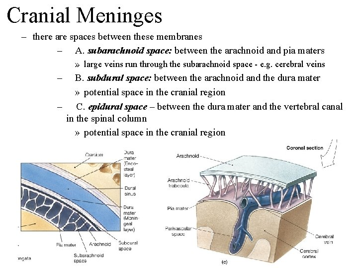 Cranial Meninges – there are spaces between these membranes – A. subarachnoid space: between