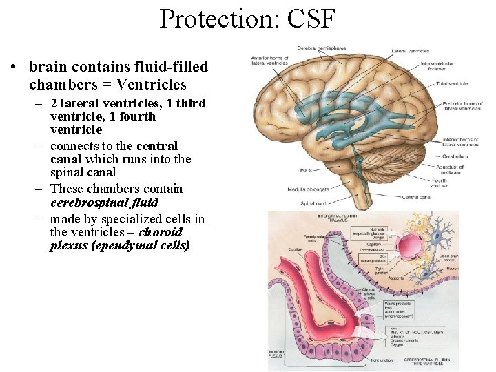 Protection: CSF • brain contains fluid-filled chambers = Ventricles – 2 lateral ventricles, 1
