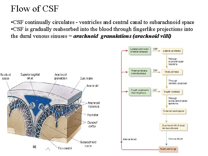 Flow of CSF • CSF continually circulates - ventricles and central canal to subarachnoid