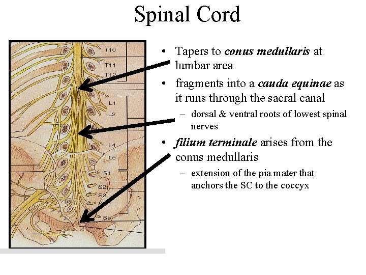 Spinal Cord • Tapers to conus medullaris at lumbar area • fragments into a