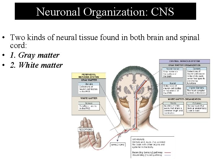 Neuronal Organization: CNS • Two kinds of neural tissue found in both brain and