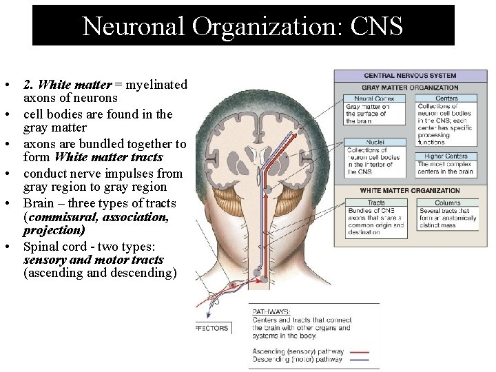 Neuronal Organization: CNS • 2. White matter = myelinated axons of neurons • cell