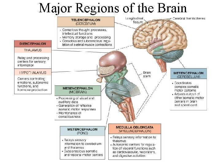 Major Regions of the Brain Figure 15. 1 Major Divisions of the Brain