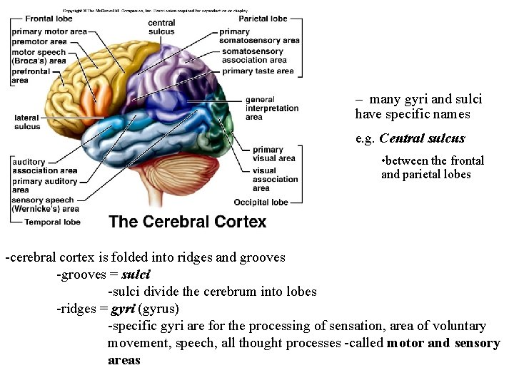 – many gyri and sulci have specific names e. g. Central sulcus • between