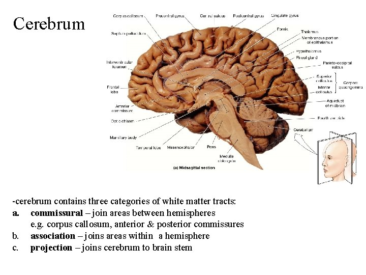 Cerebrum -cerebrum contains three categories of white matter tracts: a. commissural – join areas