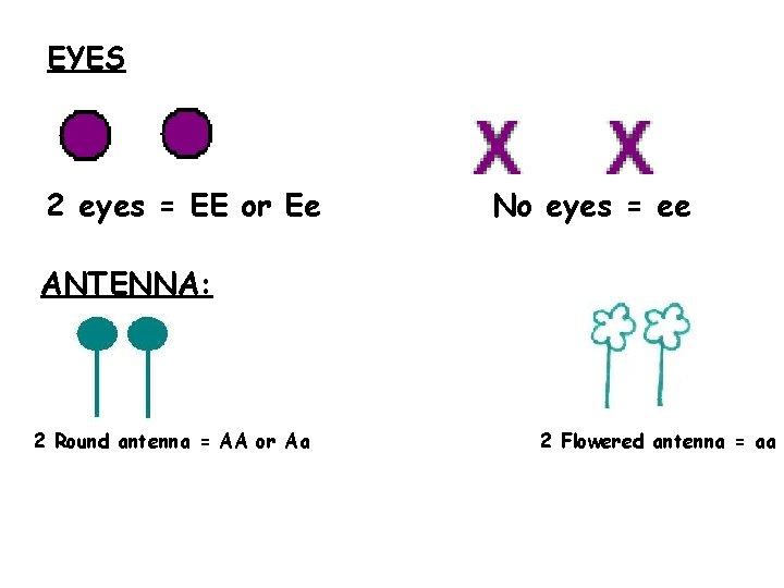 EYES 2 eyes = EE or Ee No eyes = ee ANTENNA: 2 Round