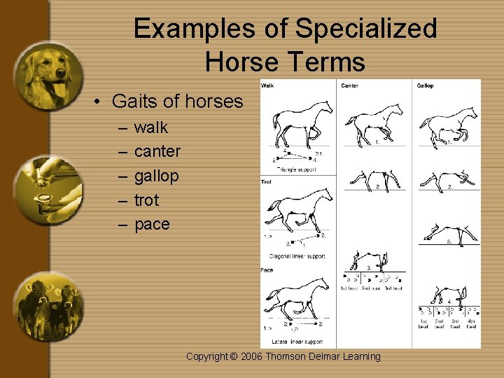 Examples of Specialized Horse Terms • Gaits of horses – – – walk canter