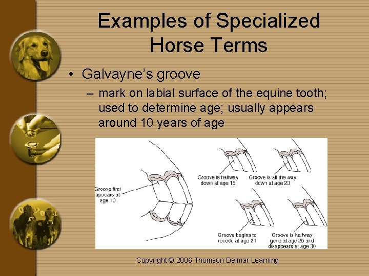 Examples of Specialized Horse Terms • Galvayne's groove – mark on labial surface of