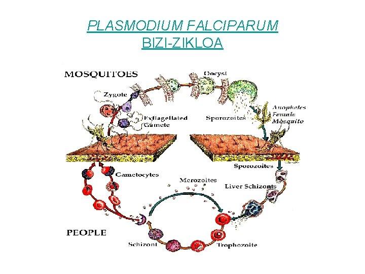 PLASMODIUM FALCIPARUM BIZI-ZIKLOA
