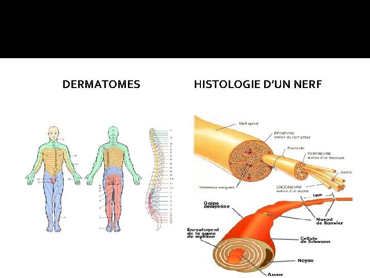 DERMATOMES HISTOLOGIE D'UN NERF