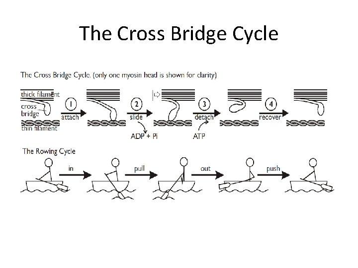The Cross Bridge Cycle