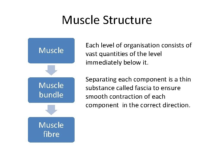 Muscle Structure Muscle Each level of organisation consists of vast quantities of the level