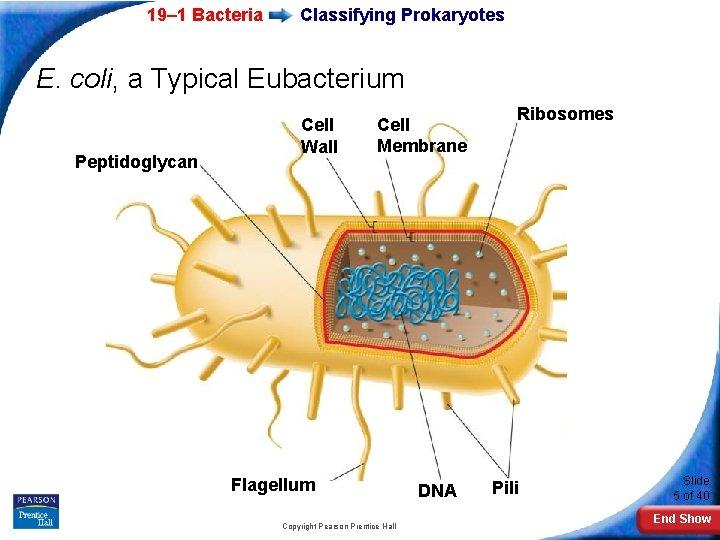 19– 1 Bacteria Classifying Prokaryotes E. coli, a Typical Eubacterium Peptidoglycan Cell Wall Cell
