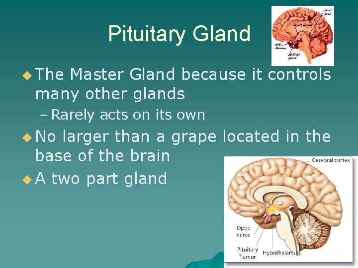 Pituitary Gland u The Master Gland because it controls many other glands – Rarely