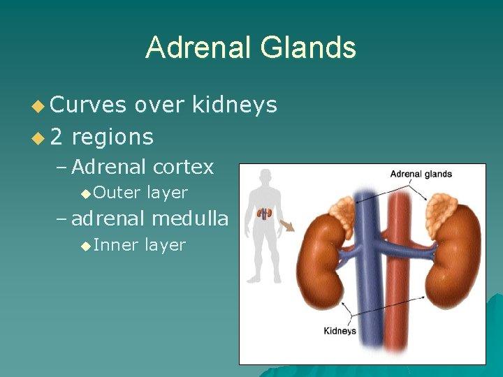 Adrenal Glands u Curves over kidneys u 2 regions – Adrenal cortex u Outer