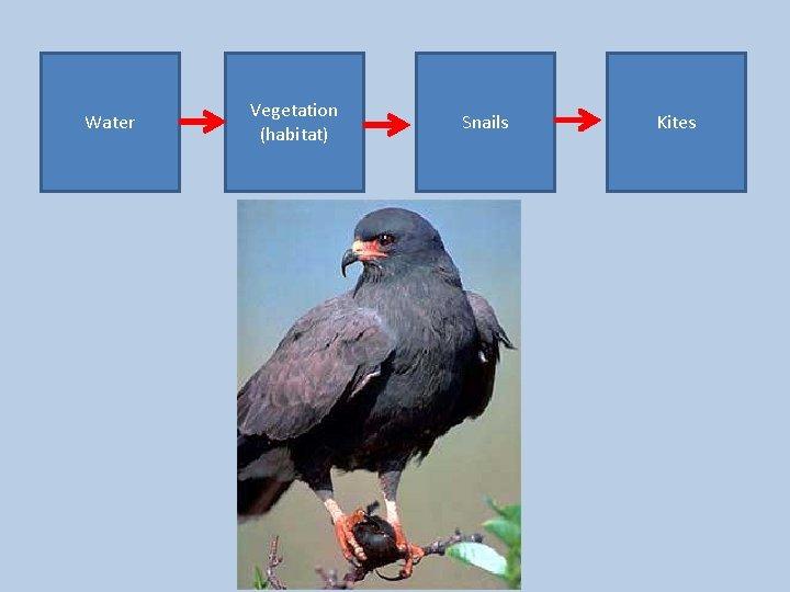 Water Vegetation (habitat) Snails Kites