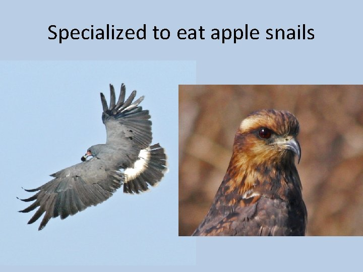 Specialized to eat apple snails