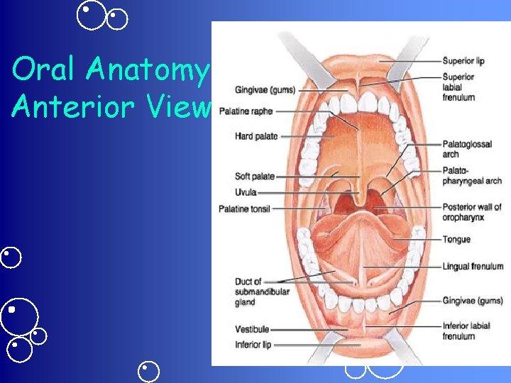 Oral Anatomy Anterior View