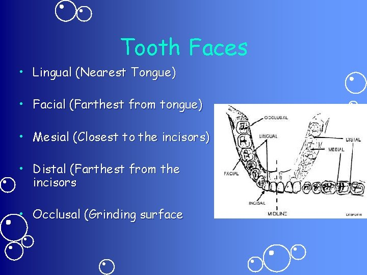 Tooth Faces • Lingual (Nearest Tongue) • Facial (Farthest from tongue) • Mesial (Closest