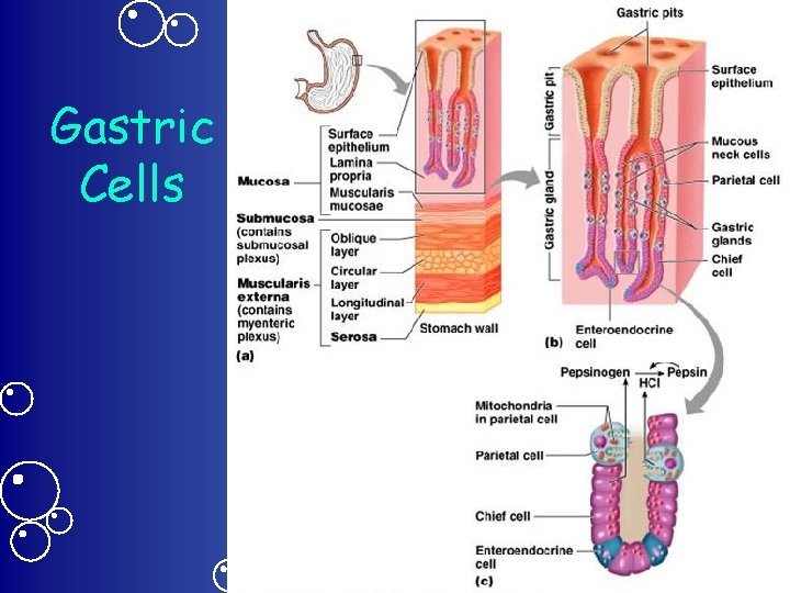 Gastric Cells