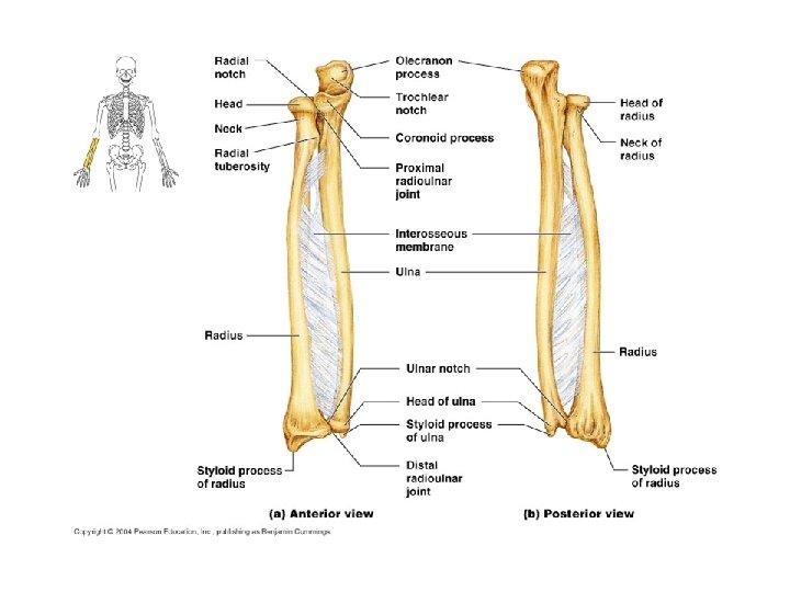 scheletul membrului superior tratamentul artrozei articulare interfalangiene