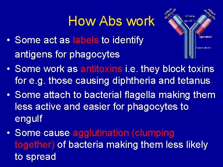 How Abs work • Some act as labels to identify antigens for phagocytes •