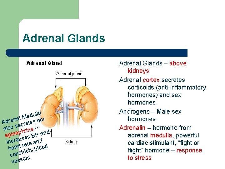 Adrenal Glands dulla e M l r na Adre cretes no se also hrine