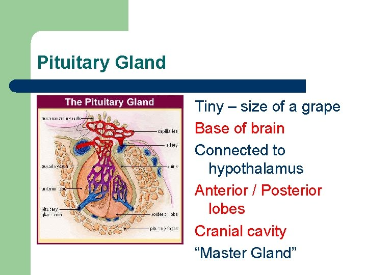 Pituitary Gland Tiny – size of a grape Base of brain Connected to hypothalamus