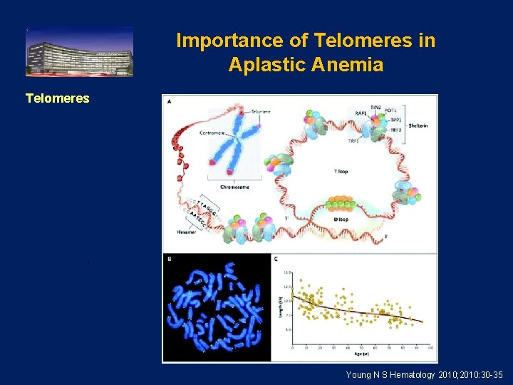 Importance of Telomeres in Aplastic Anemia Telomeres . Young N S Hematology 2010; 2010: