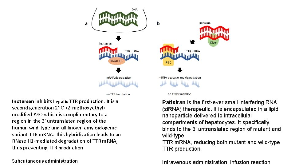 Inotersen inhibits hepatic TTR production. It is a second generation 2′-O-(2 -methoxyethyl) modified ASO