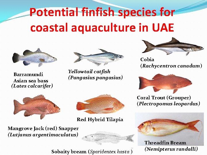 Potential finfish species for coastal aquaculture in UAE Barramundi Asian sea bass (Lates calcarifer)