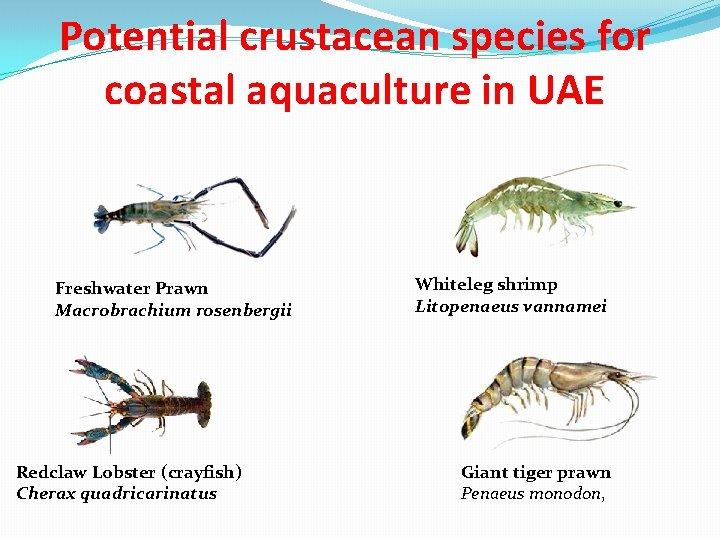 Potential crustacean species for coastal aquaculture in UAE Freshwater Prawn Macrobrachium rosenbergii Redclaw Lobster