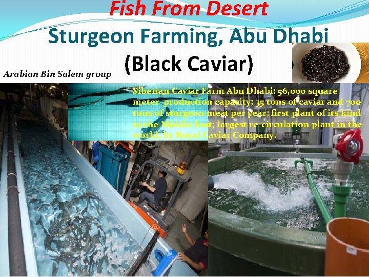 Fish From Desert Sturgeon Farming, Abu Dhabi (Black Caviar) Arabian Bin Salem group Siberian