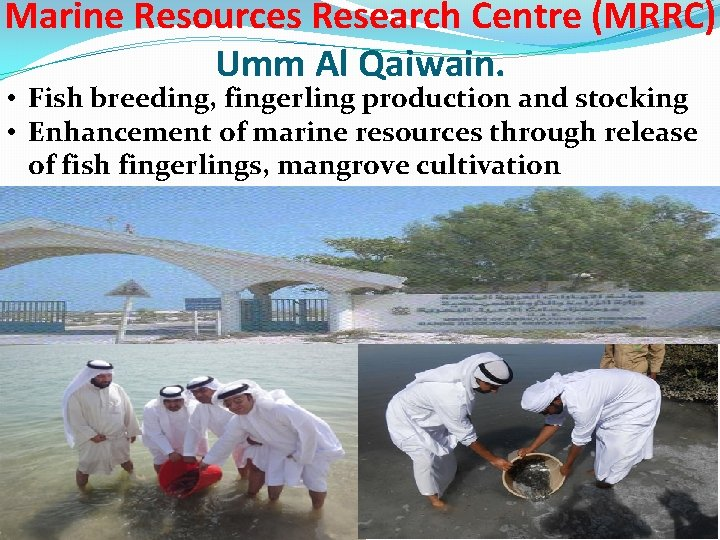 Marine Resources Research Centre (MRRC) Umm Al Qaiwain. • Fish breeding, fingerling production and