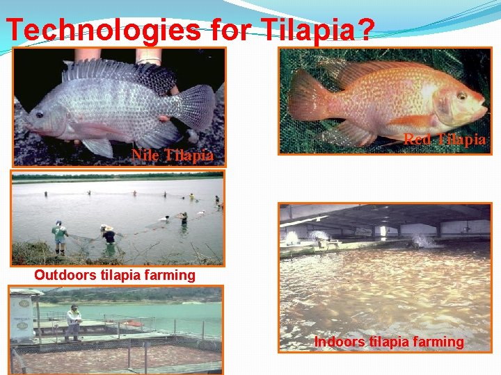 Technologies for Tilapia? Nile Tilapia Red Tilapia Outdoors tilapia farming Indoors tilapia farming