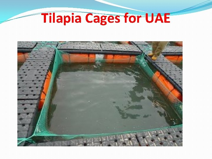 Tilapia Cages for UAE