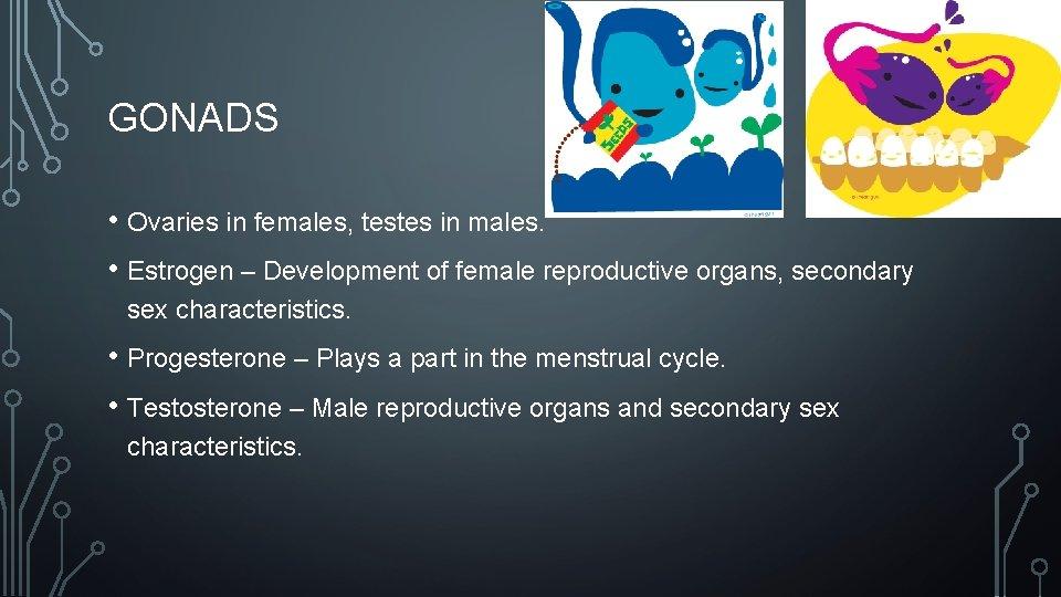 GONADS • Ovaries in females, testes in males. • Estrogen – Development of female