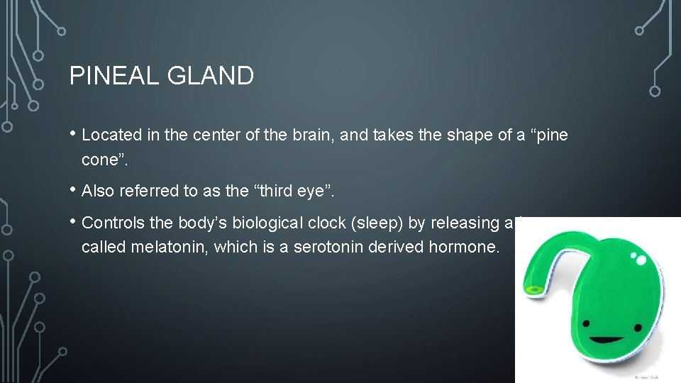 PINEAL GLAND • Located in the center of the brain, and takes the shape
